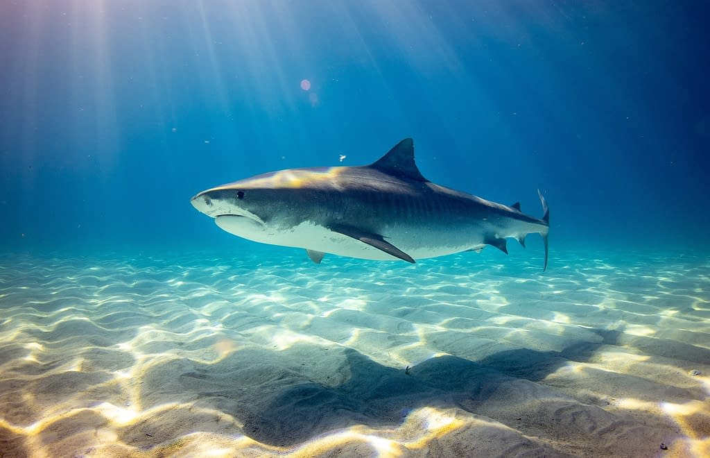 Tiger Shark How do we stop shark finning | Behind the Shark Collection | Pigments by Liv