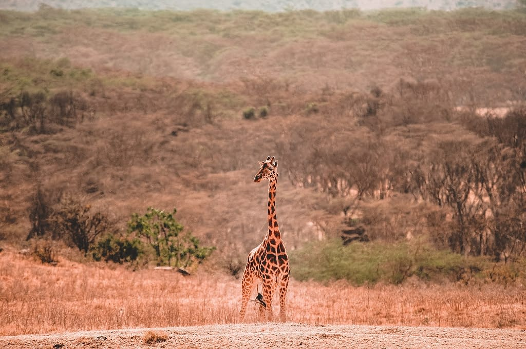 Giraffes reappearing   Animal Conservation in 2020