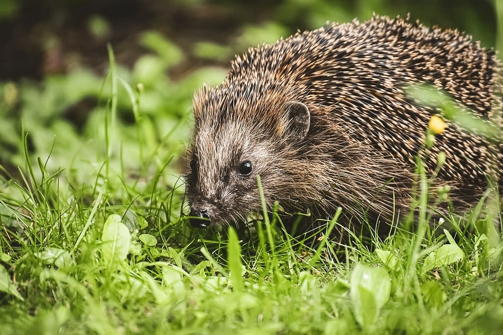 Hedgehog university campuses   Animal Conservation in 2020