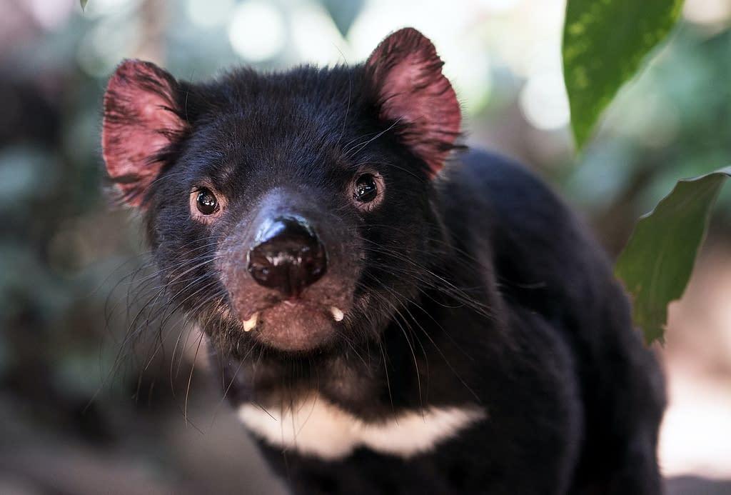 Biofluorescent Tasmanian devils   Animal Conservation in 2020