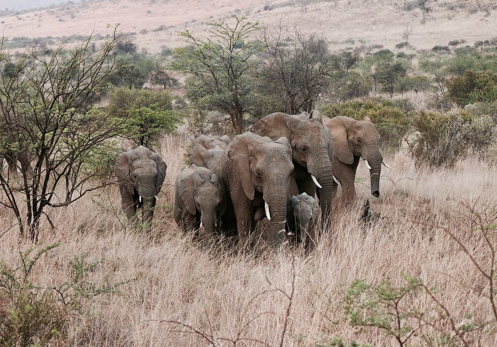 Elephants migrating | Animal Conservation in 2020