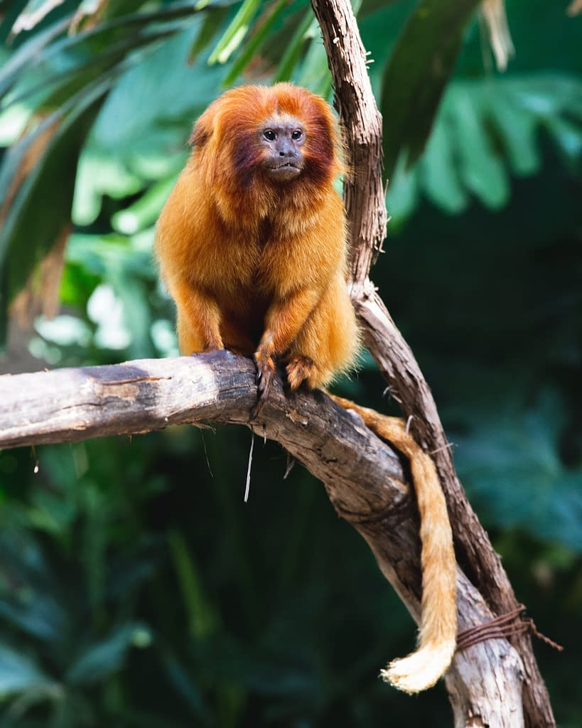 Golden Tamarins | Chats with Conservationists: Natasha, a masters degree in conservation | Pigments by Liv