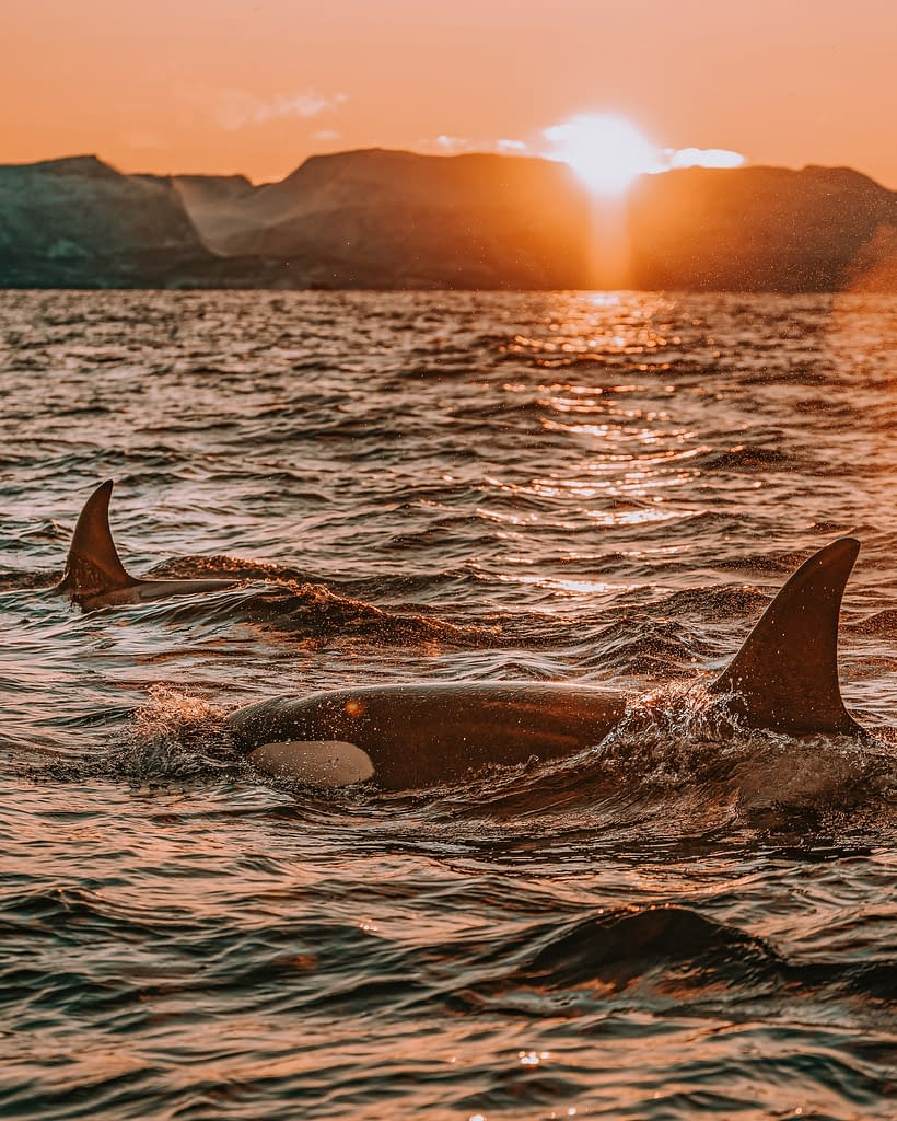 Orca | 5 Unique Species of Dolphin to Celebrate on National Dolphin Day | Pigments by Liv