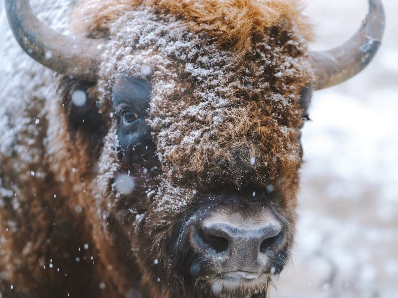 Reintroducing Bisons   Animal Conservation in 2020