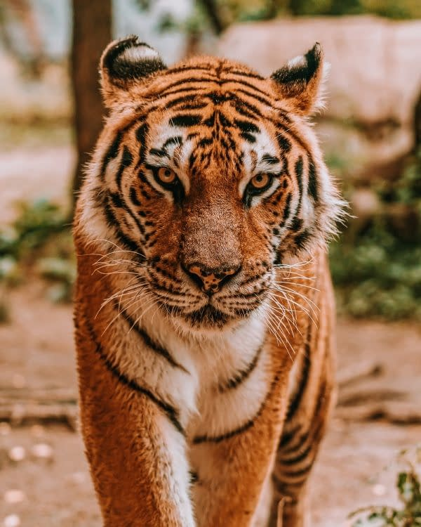 Tiger | Pigments by Liv